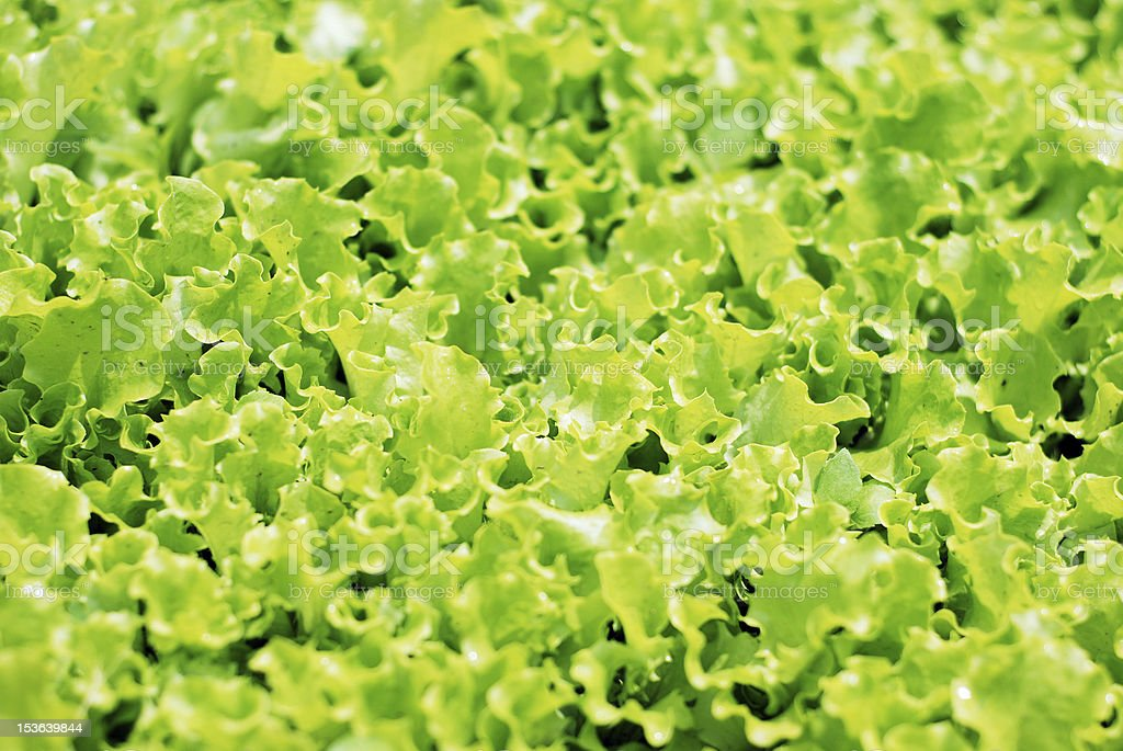Fresh curly lettuce leaves in outdoor vegetable garden stock photo