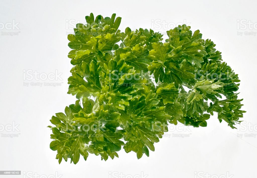Fresh curly parsley on white stock photo