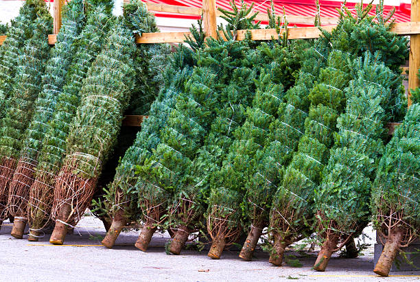 Fresh cut Christmas trees ready for sale stock photo