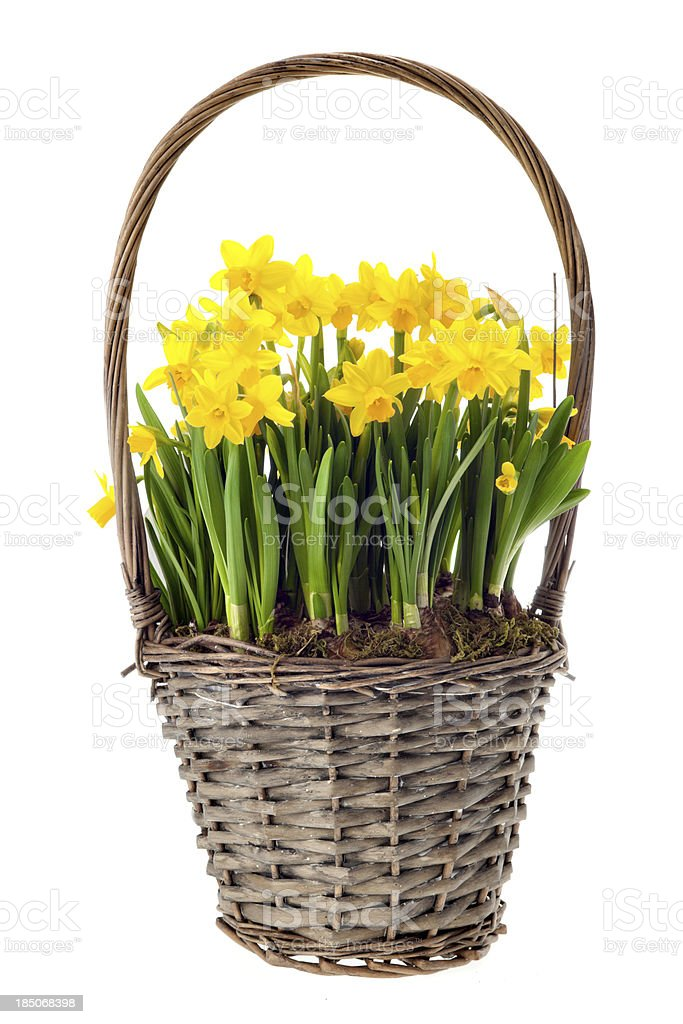 fresh daffs in basket on white royalty-free stock photo