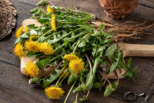 Fresh dandelions with roots on a wooden background