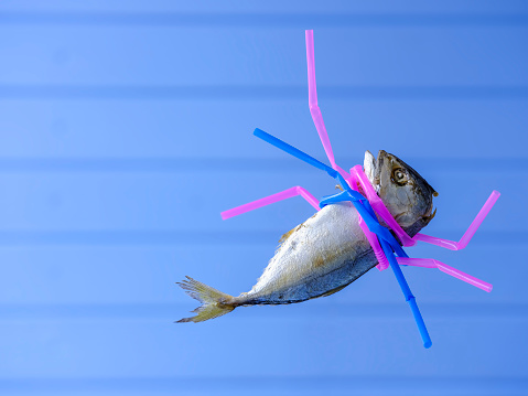 Fresh dead steamed Indian Mackeral strangled by pink and blue plastic drinking straws against an out of focus blue paneled wood background, concept image relating to plastic straws and plastic in general polluting the ocean environment, an environmental disaster.