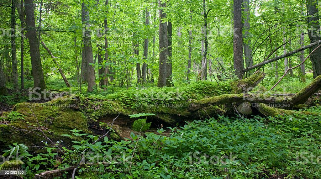 Fresh deciduous stand of Bialowieza Forest in springtime stock photo