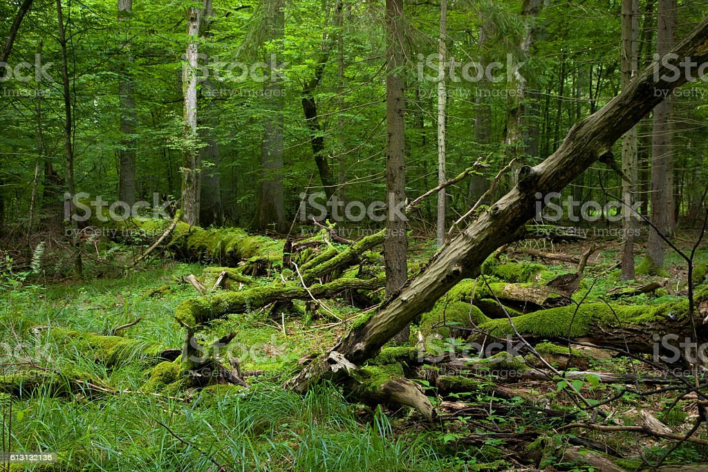 Fresh deciduous stand of Bialowieza Forest in summer stock photo