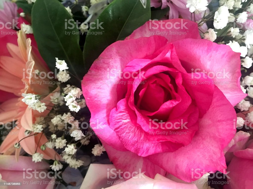 Fresh Deep Pink Rose Flower In Bouquet Stock Photo Download Image Now Istock