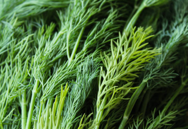 fresh dill background fresh dill background dill stock pictures, royalty-free photos & images