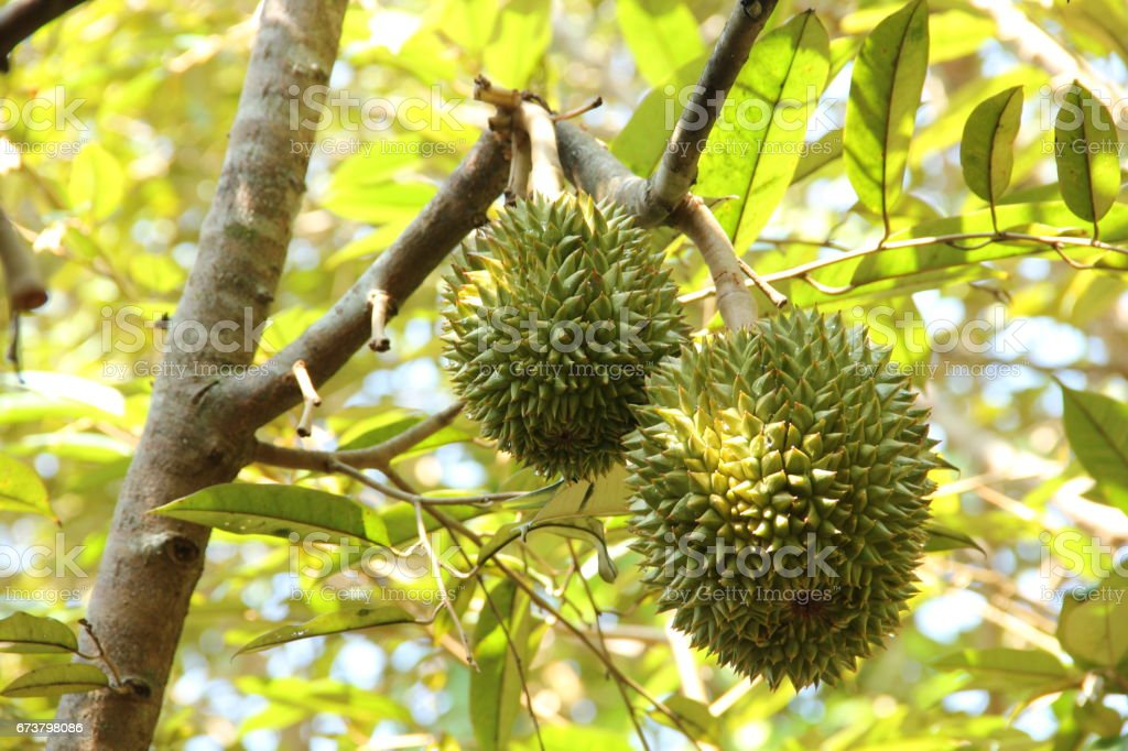 Fresh durian on the tree in the garden photo libre de droits