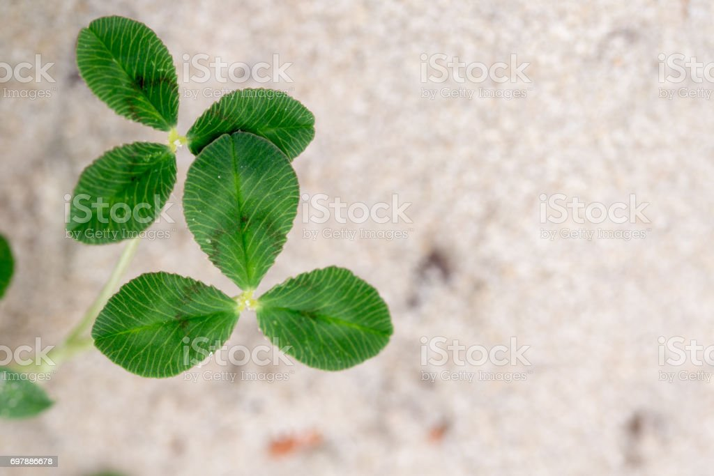 Fresh dutch clover (Trifolium repens) on a sand background stock photo