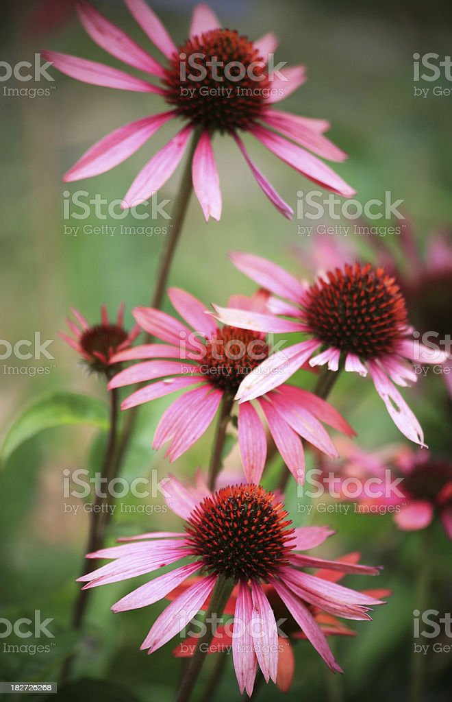 Fresh Echinacea plants royalty-free stock photo