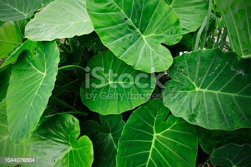 fresh elephant ear leaf
