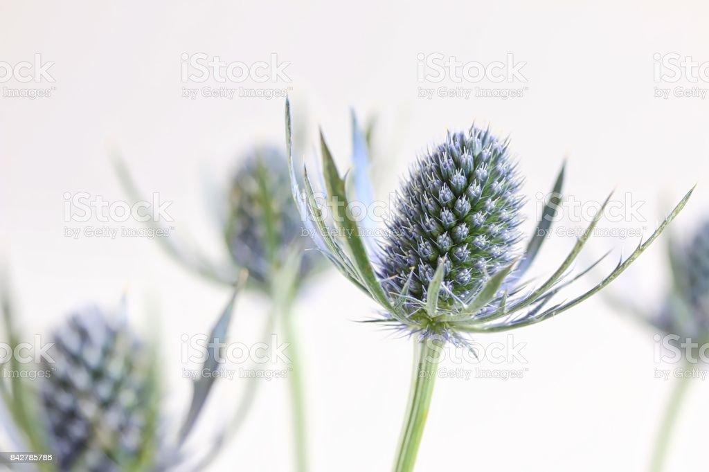 Fresh Eryngium Flowers stock photo
