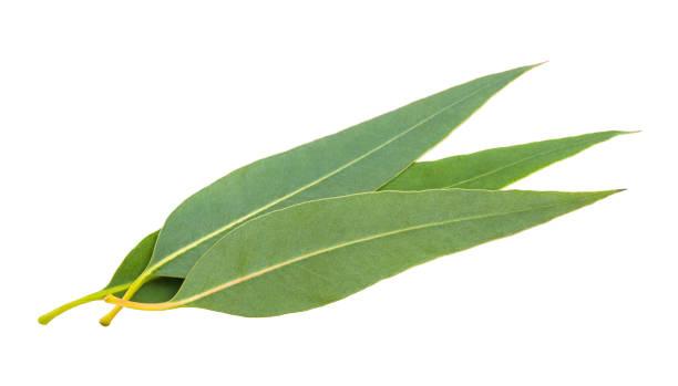 frische eukalyptusblätter - eukalyptusbaum stock-fotos und bilder