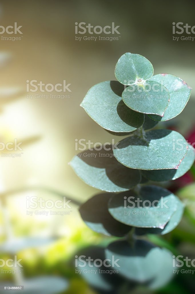 Fresh Eucalyptus plant top view with shadow and copy space stock photo