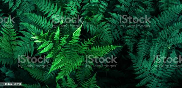 Photo of Fresh fern leaves, tropical foliage texture background, green color leaf nature concept.Photo by mobile phone
