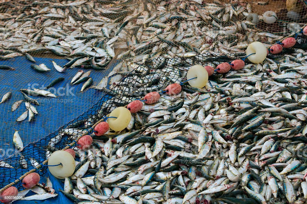 Fresh fish caught with a fishing net stock photo