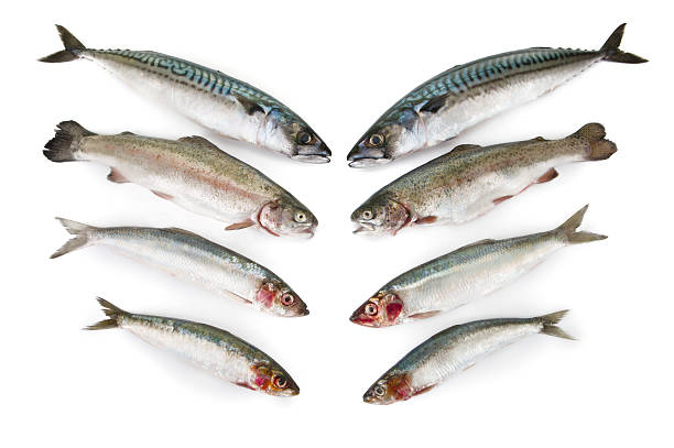fresh fish, mackerel,trout,herring and sardine on white background - herring stock photos and pictures