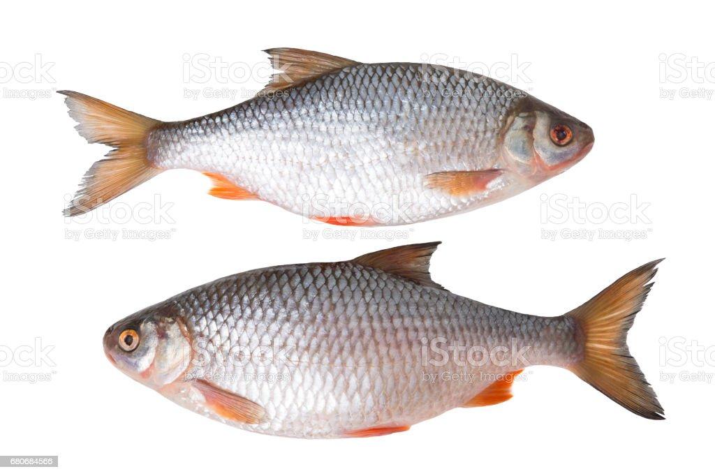Fresh fish on a white background stock photo