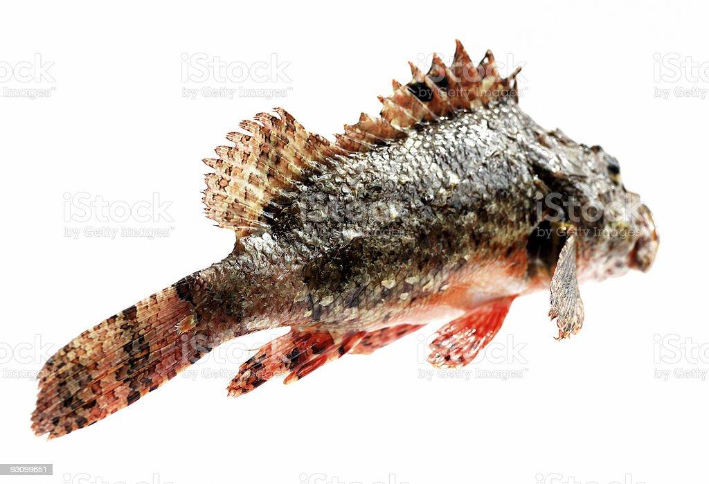 Fresh fish stone perch royalty-free stock photo