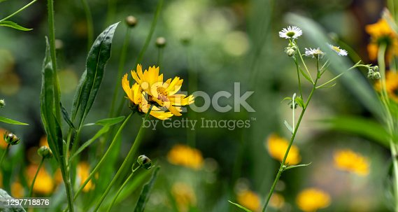 Fresh floral background or banner. Delicate yellow flower Careopsis or yellow chamomile on background of blurred greenery in spring park. Blooming in garden. Shallow depth of field