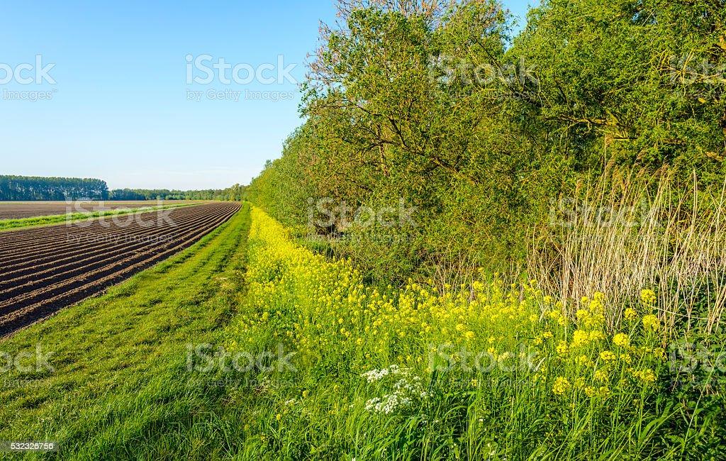 Cornejo frescas plantas silvestres un lo largo de un campo - foto de stock