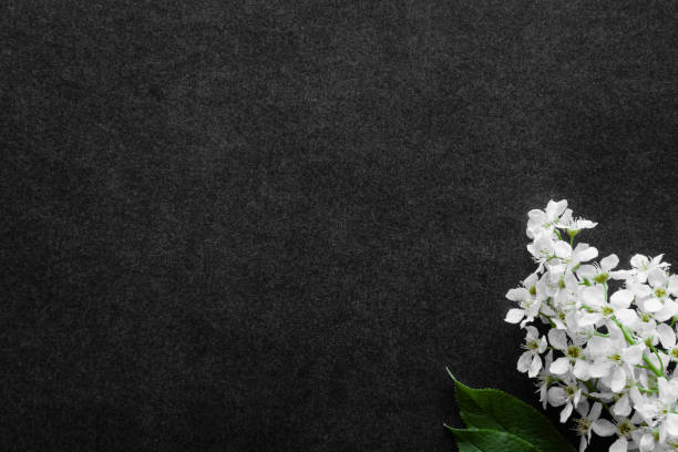 fresh flowers branch of white bird cherry on dark black background. condolence card. empty place for emotional, sentimental text, quote or sayings. top down view. - monumento commemorativo foto e immagini stock