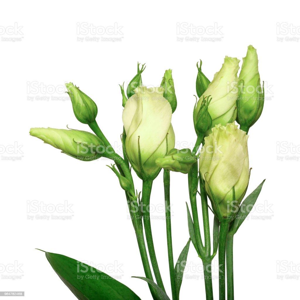 Fresh flowers eustoma isolated on white background. royalty-free stock photo
