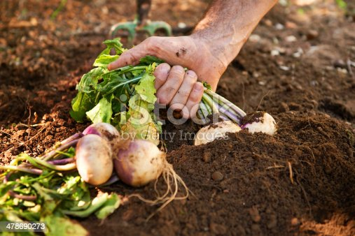Turnips being pulled from the ground