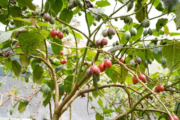 Fresh fruit is known Tamarillo in garden stock photo