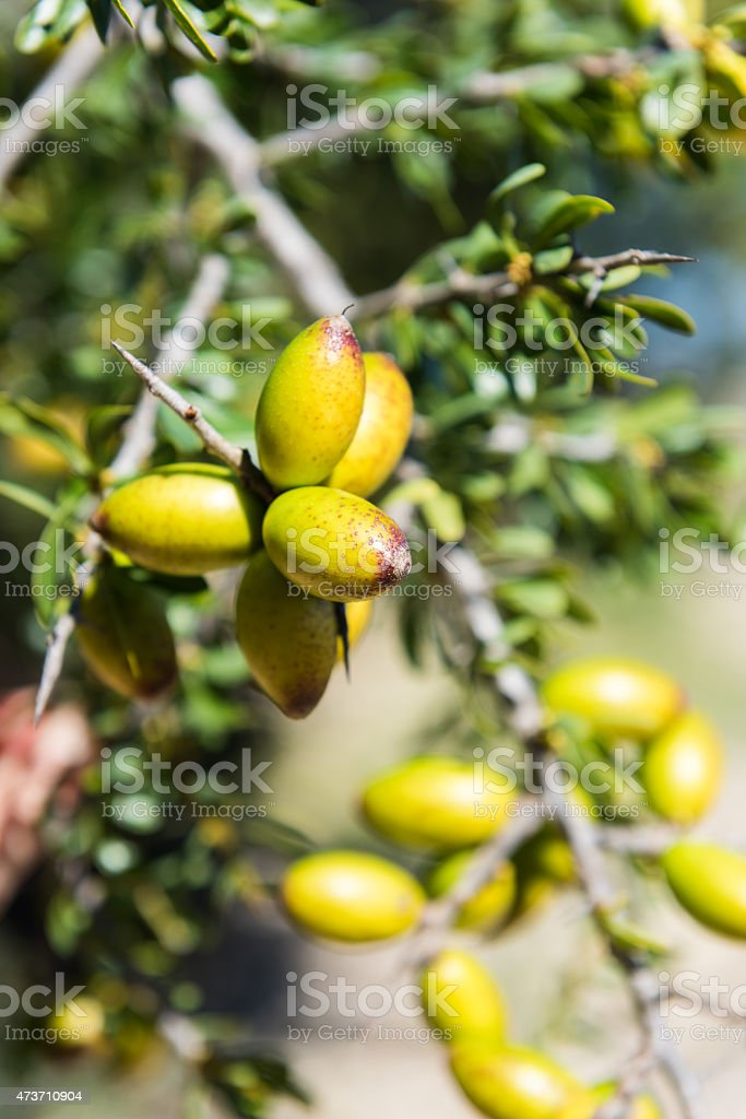Fresh fruit of Argan tree on the branch stock photo