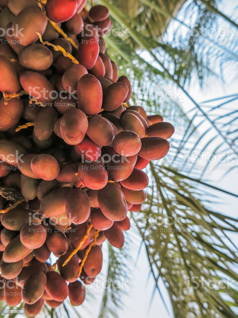 Fresh fruits hang on stalks stock photo
