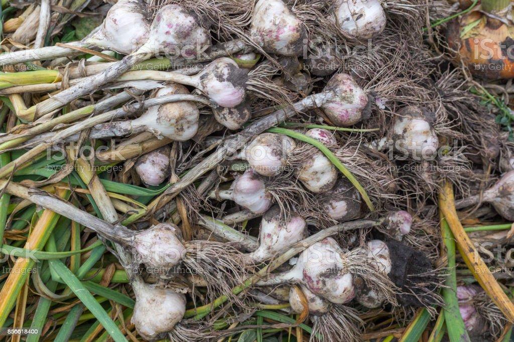 fresh garlic crops gathered stock photo