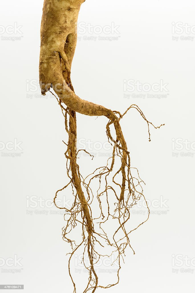 Fresh ginseng root on white background royalty-free stock photo
