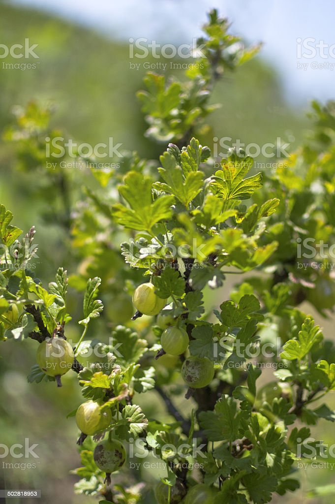 Fresh gooseberry stock photo