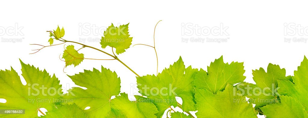 fresh grape leaves stock photo