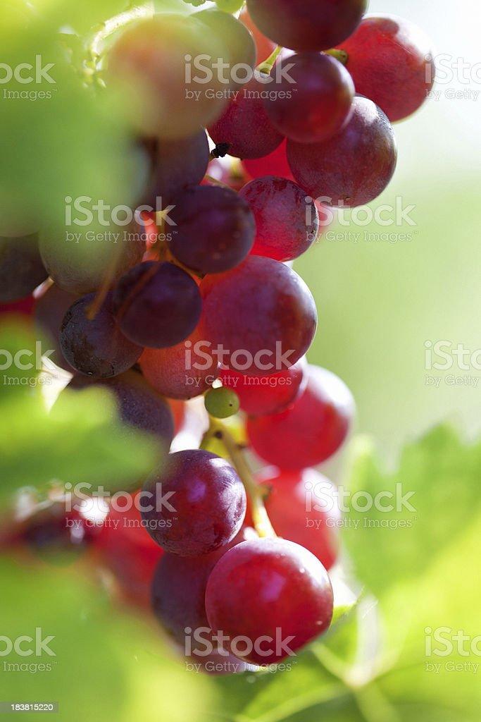 Fresh grape royalty-free stock photo