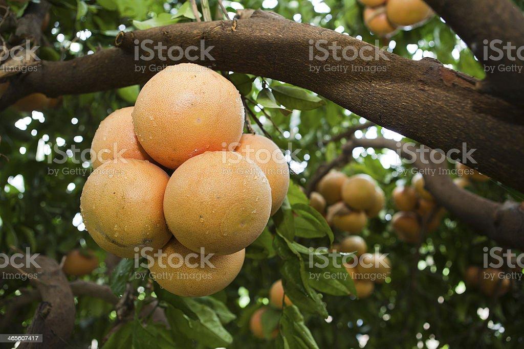 Fresh grapefruits on the tree royalty-free stock photo