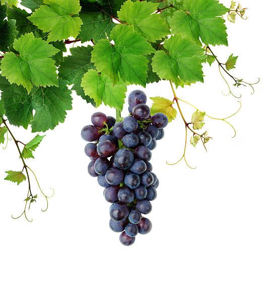 frische grapevine - bund stock-fotos und bilder