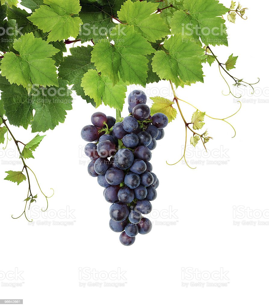Fresh grapevine stock photo