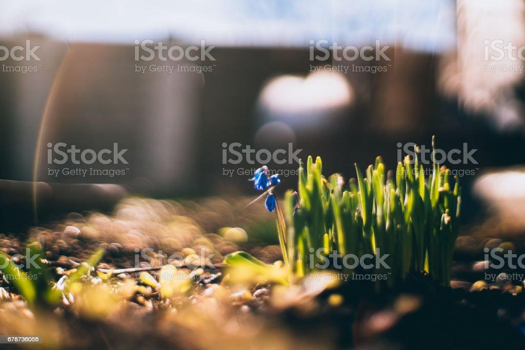 Herbe fraîche et petite fleur bleue sur le printemps photo libre de droits