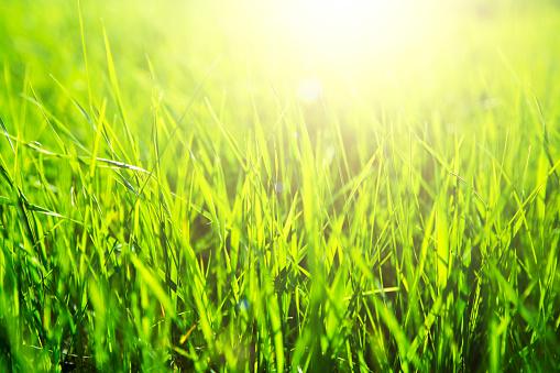 Fresh grass close-up over sunset and sunbeam background.