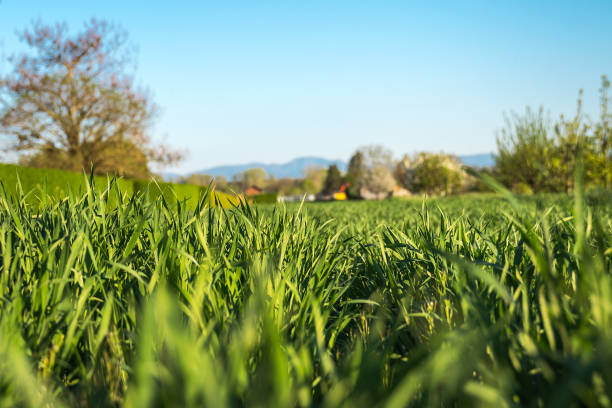 Fresh grass in closeup with blue sky in the background (slanted perspective) stock photo