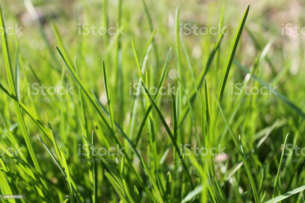 Fresh grass morning, background of herb stock photo