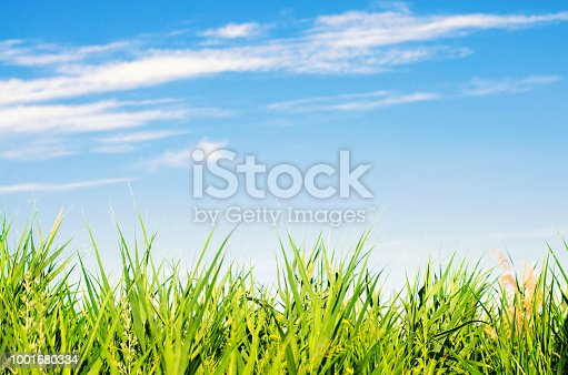fresh grass on and blue sky. landscape. beautiful view. nature, environment. background for design. selective focus
