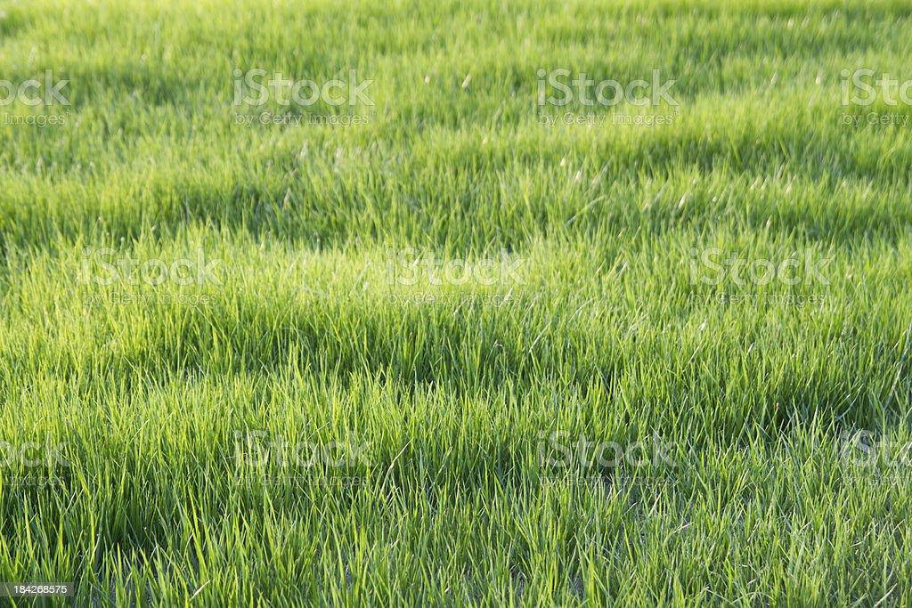 Fresh grass on the garden royalty-free stock photo