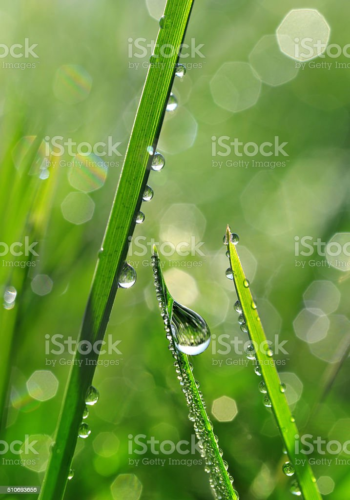 Fresh grass with dew drops closeup. stock photo