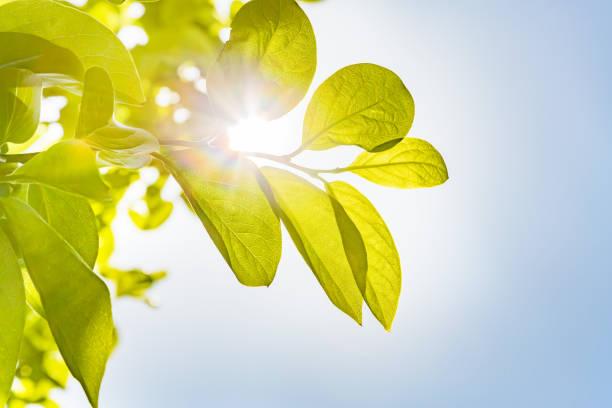 fresh green and sun - flare foto e immagini stock