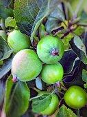 Fresh green apples on the tree