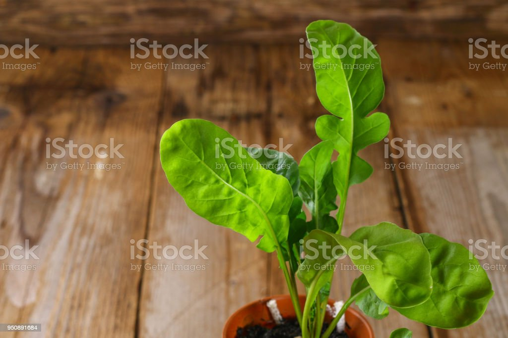 Fresh green arugula in a pot on a wooden table. stock photo