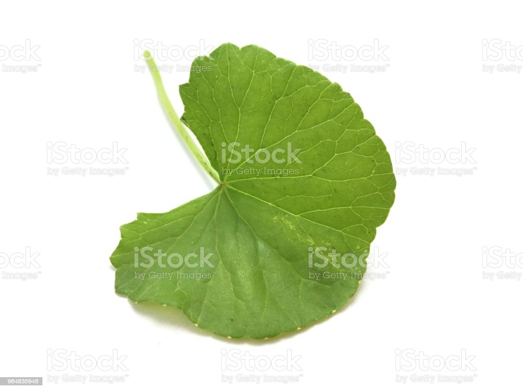 fresh green asiatic Pennywort leaves on white background royalty-free stock photo