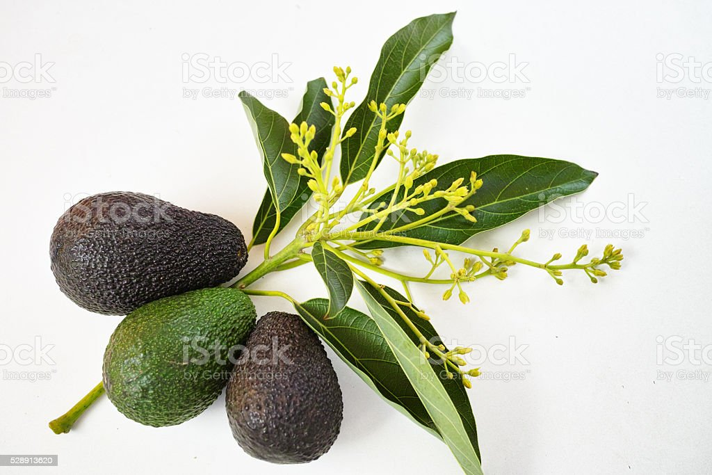Fresh green avocados with leaves on white stock photo